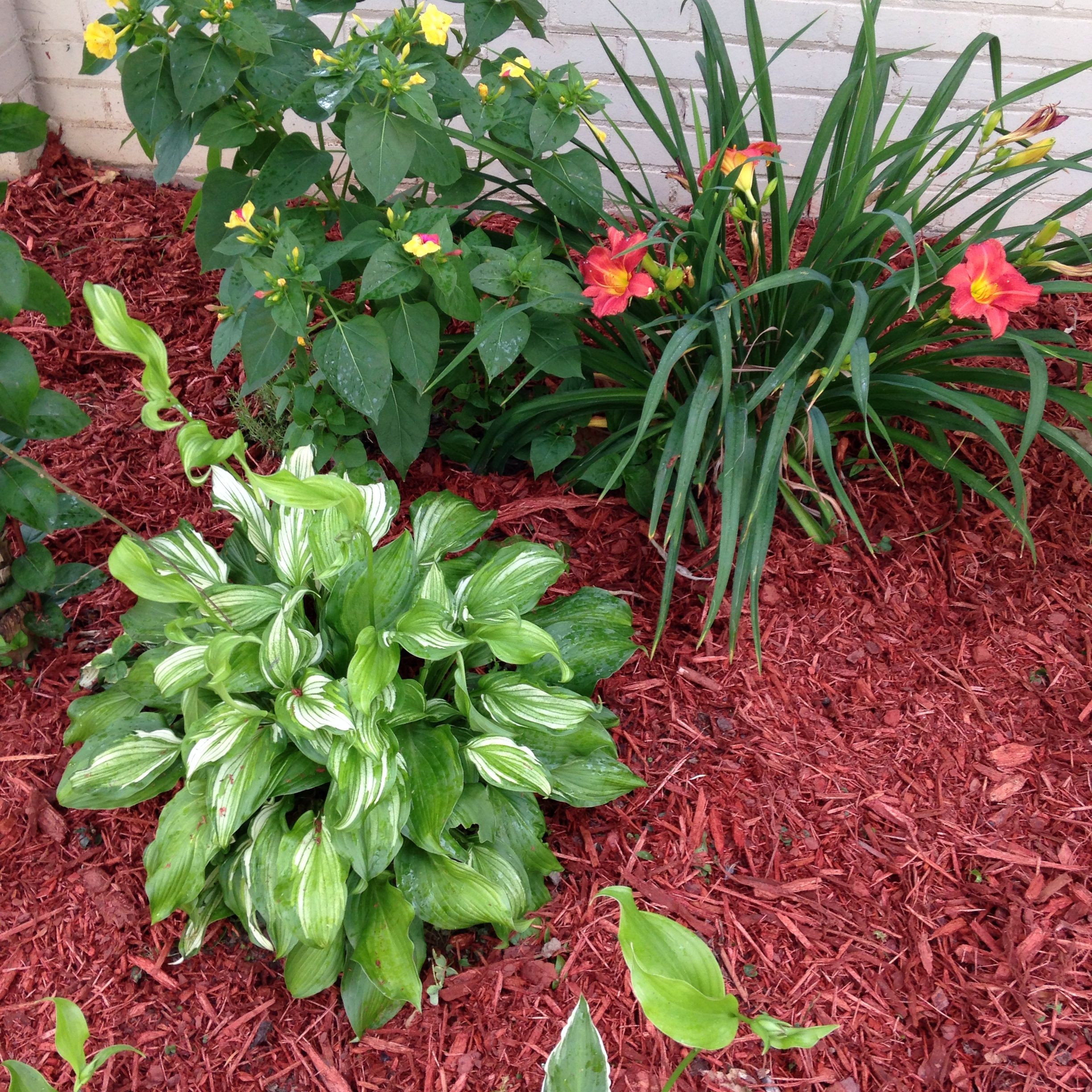 Hostas is a wonderful low maintenance plant that is perfect for shaded beds. Easy to spread and grow!