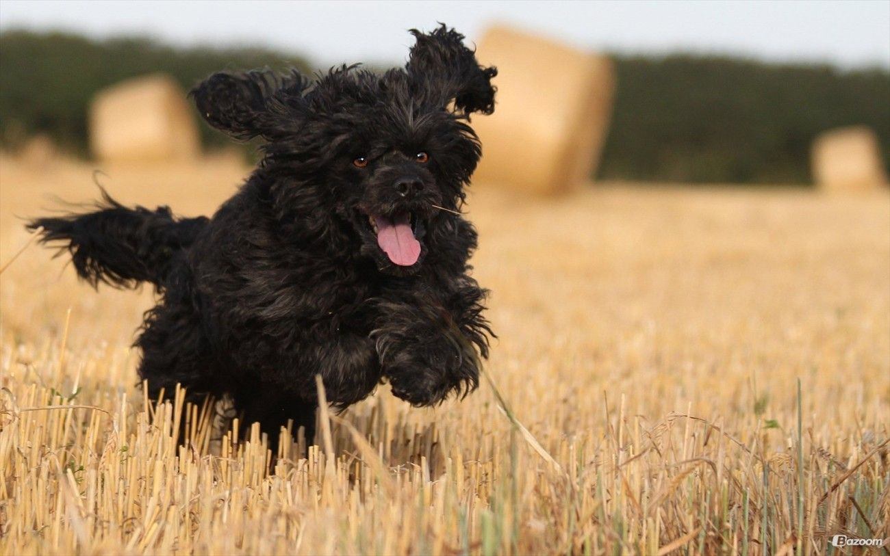 Black Cavapoo Running Pictures Black cavapoo, Running