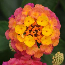 These lantanas are perfect for livening up a porch and attracting butterflies. We're pretty attracted to them, too!