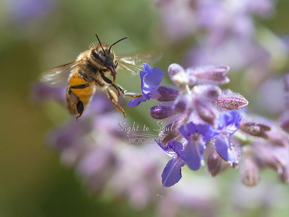 Flying Honey Bee Wall Decor Nature Photography Fine Art Print
