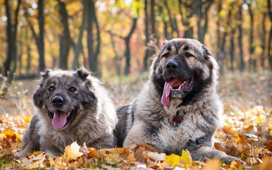 Кавказская овчарка (фото): надежный охранник и верный друг ...