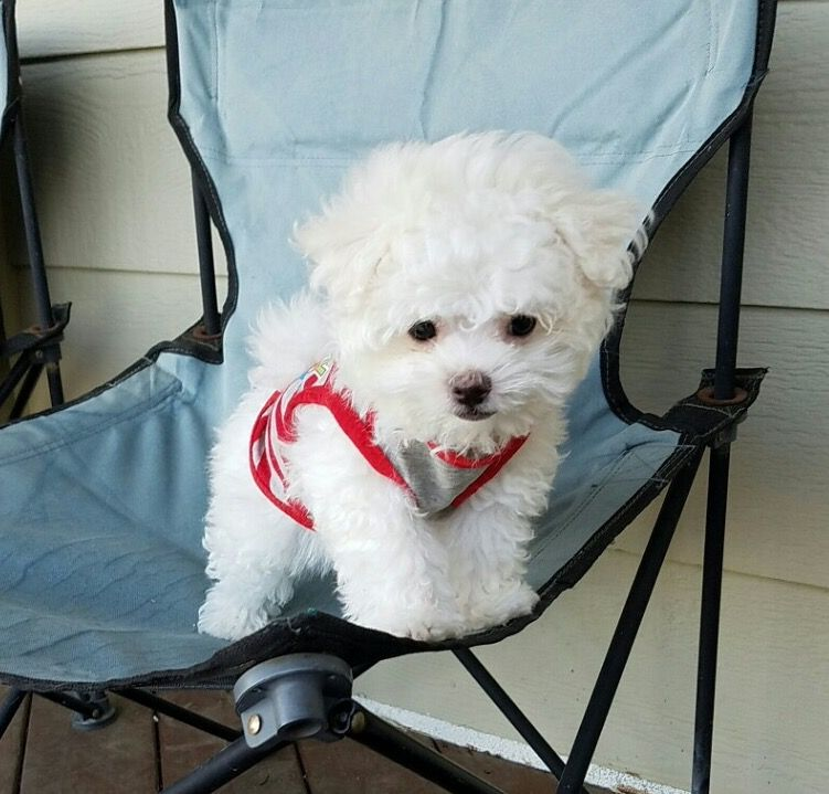 Maltipoo puppy for sale in LOS ANGELES, CA. ADN31564 on