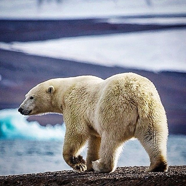 Photo @coryrichards Out for an afternoon stroll, this polar bear wandered the beach looking for signs of food...not excluding us, for several hours. The sea ice of Franz Josef Land that once provided food for these bears is melting at an alarming rate. It's projected that the arctic will be ice free during the summer months in 10-20 yrs if our impacts continue at their current rate. What can you do to lessen your footprint? Shot on assignment for @natgeo Article in this months issue. Check…