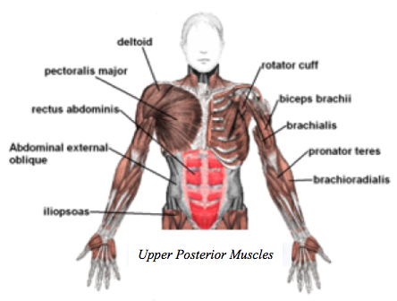 body muscles labeled – applecool, Muscles