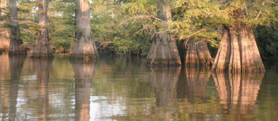 Cache river more a bayou than a river rent canoes here