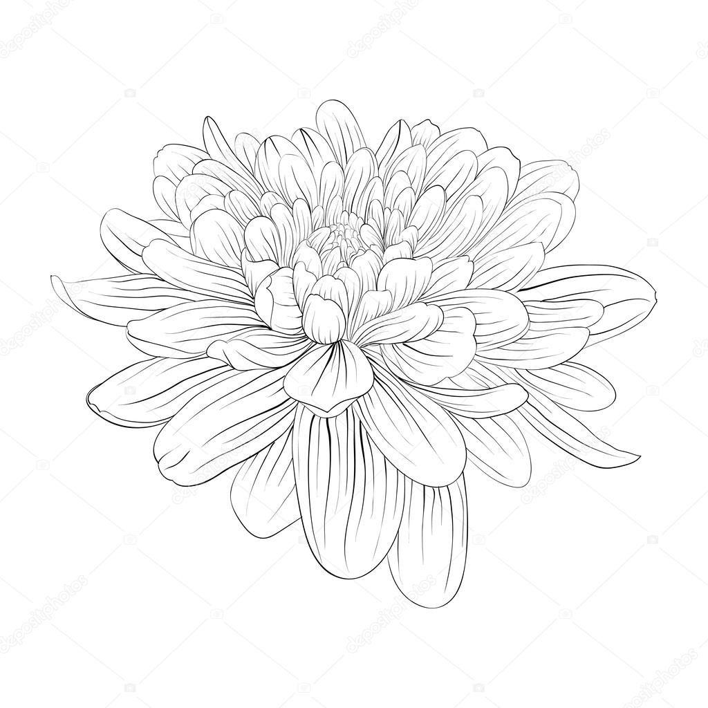 Beyaz Arka Plan Uzerinde Izole Guzel Tek Renkli Siyah Beyaz Dahlia