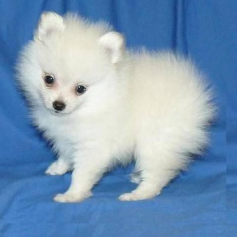 Teacup Puppies For Sale Australia Yakaz For Sale Teacup Puppies Puppies Teacup Puppies For Sale