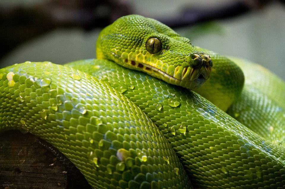 Que Significa Soñar Con Serpientes Debajo De La Cama Significado De Sueños Pet Snake Animals Snake
