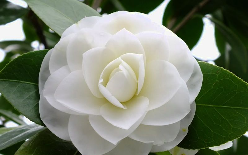 Morning Glow Is A Vigorous Growing Japanese Camellia With A Dense And Upright To Columnar Habit It S Large Form Fragrant Plant Camellia Plant Blooming Plants