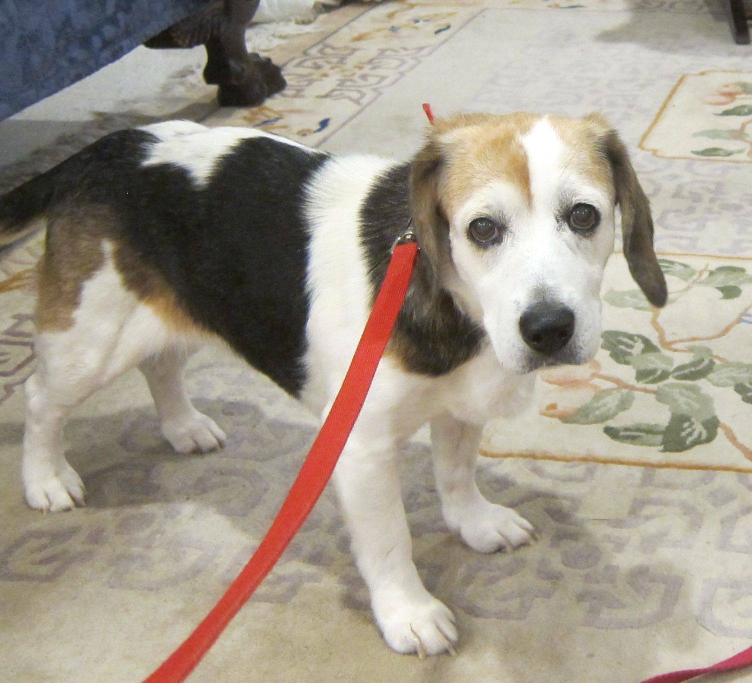 Beagle dog for Adoption in Tampa, FL. ADN677125 on