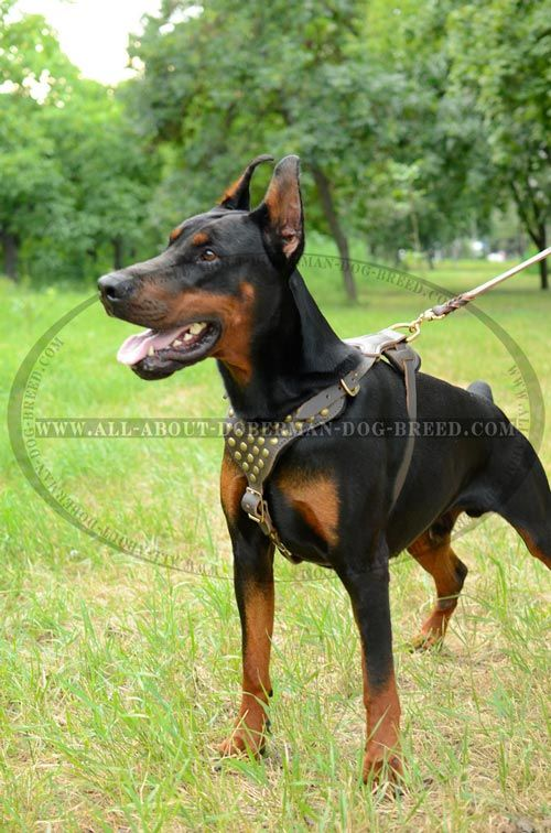 Enterese De Los Dobermans Dominancia Arnes Doberman Perro