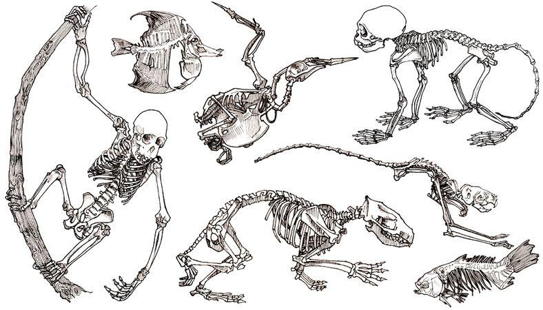 Croquis dessin squelette animaux chimpanz poisson pigeon - Dessiner un squelette ...