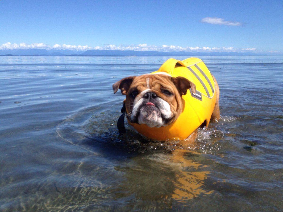 Georgia Bulldog Georgialynnebc Twitter Dog Pool Bulldog Cute Dog Pictures