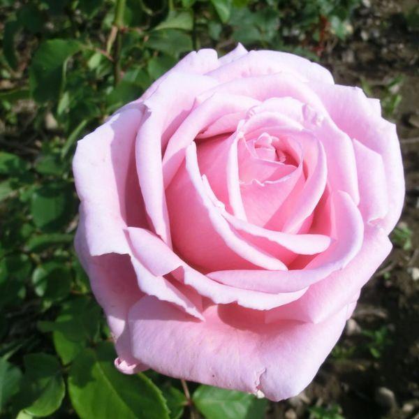 frederic mistral rose rose frederic mistral r th iv. Black Bedroom Furniture Sets. Home Design Ideas
