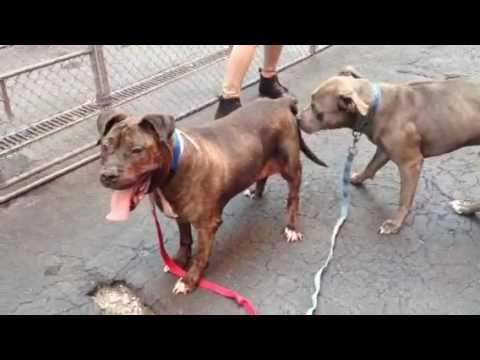 Tiger A1082456 And Benny Dog Adoption Animal Abuse Animal Rescue