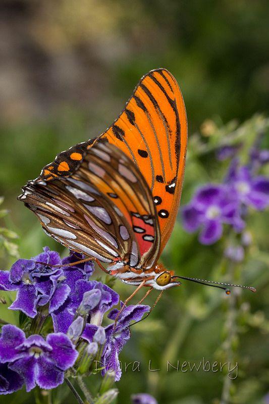 Passion Butterfly Beautiful Butterflies Butterfly Species Butterfly
