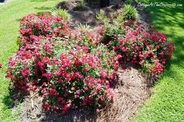Creating A Drift Roses Bed Gardening Drift Roses