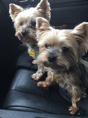 Adopt Annie Jack Bonded Pair On Yorkshire Terrier Yorkshire