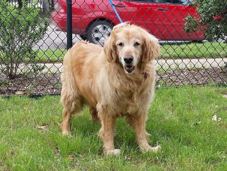 Liberty15024 f 10 yrs Golden retriever rescue, Dog