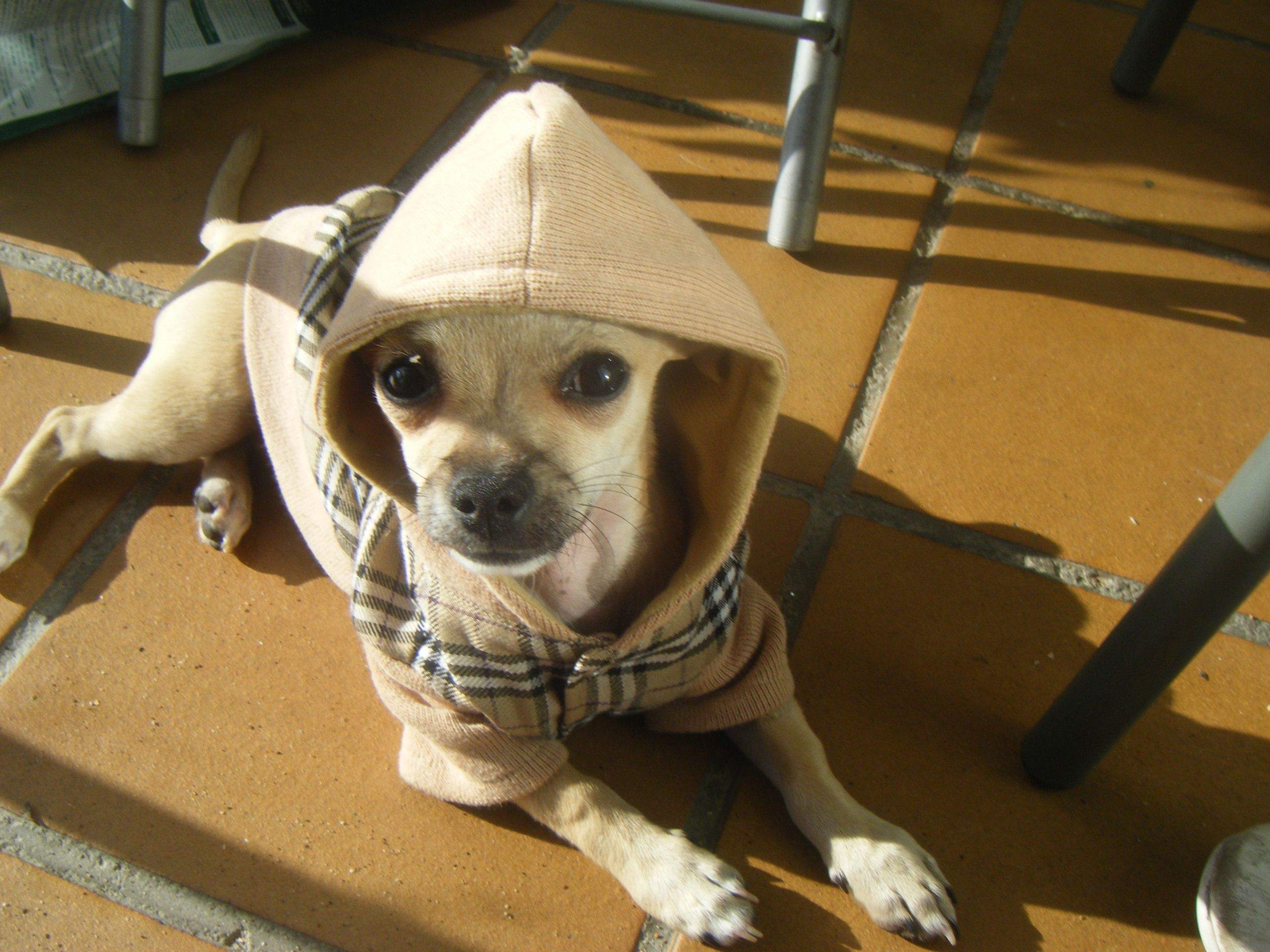 says hi ) MyLovelyPuppy Dapper dogs, Chihuahua