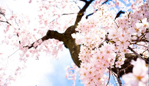 50 Lovely Cherry Blossom Wallpapers To Brighten Your Desktop Naldz Graphics Cherry Blossom Wallpaper Anime Cherry Blossom Sakura Tree