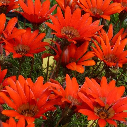 Gazania krebsiana scarlet tanager scarlet tanager african daisy gazania krebsiana scarlet tanager scarlet tanager african daisy is a cold hardy perennial gazania grown for its large incredibly scarlet flowers that mightylinksfo