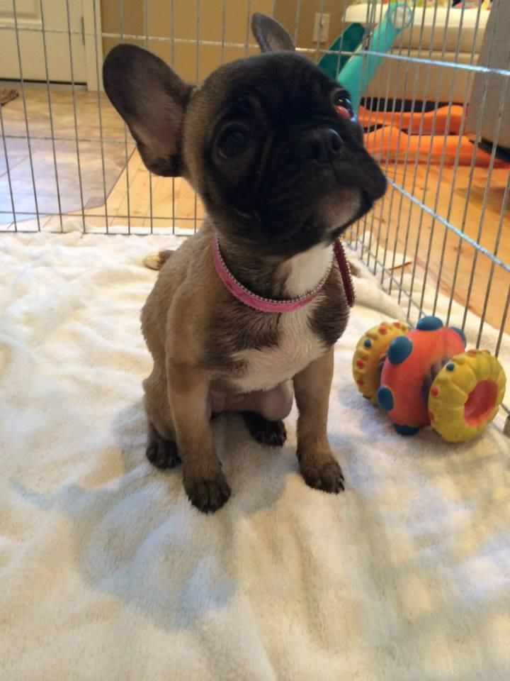 Adopt Olive On French Bulldog Bulldog Rescue Rescue Dogs