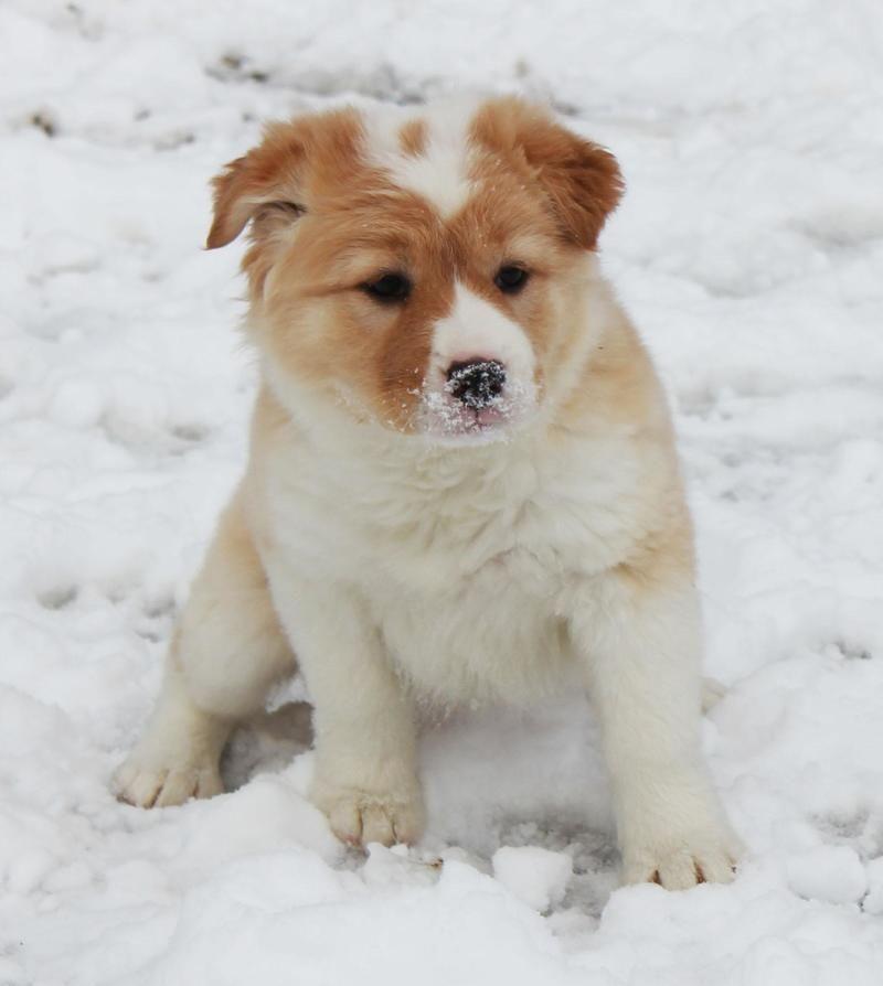 White golden retriever puppies nc