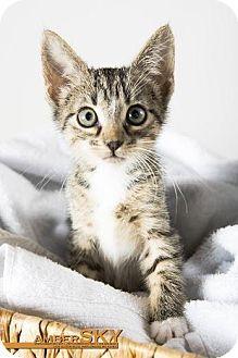 St. Louis, MO Domestic Shorthair. Meet Savannah, a