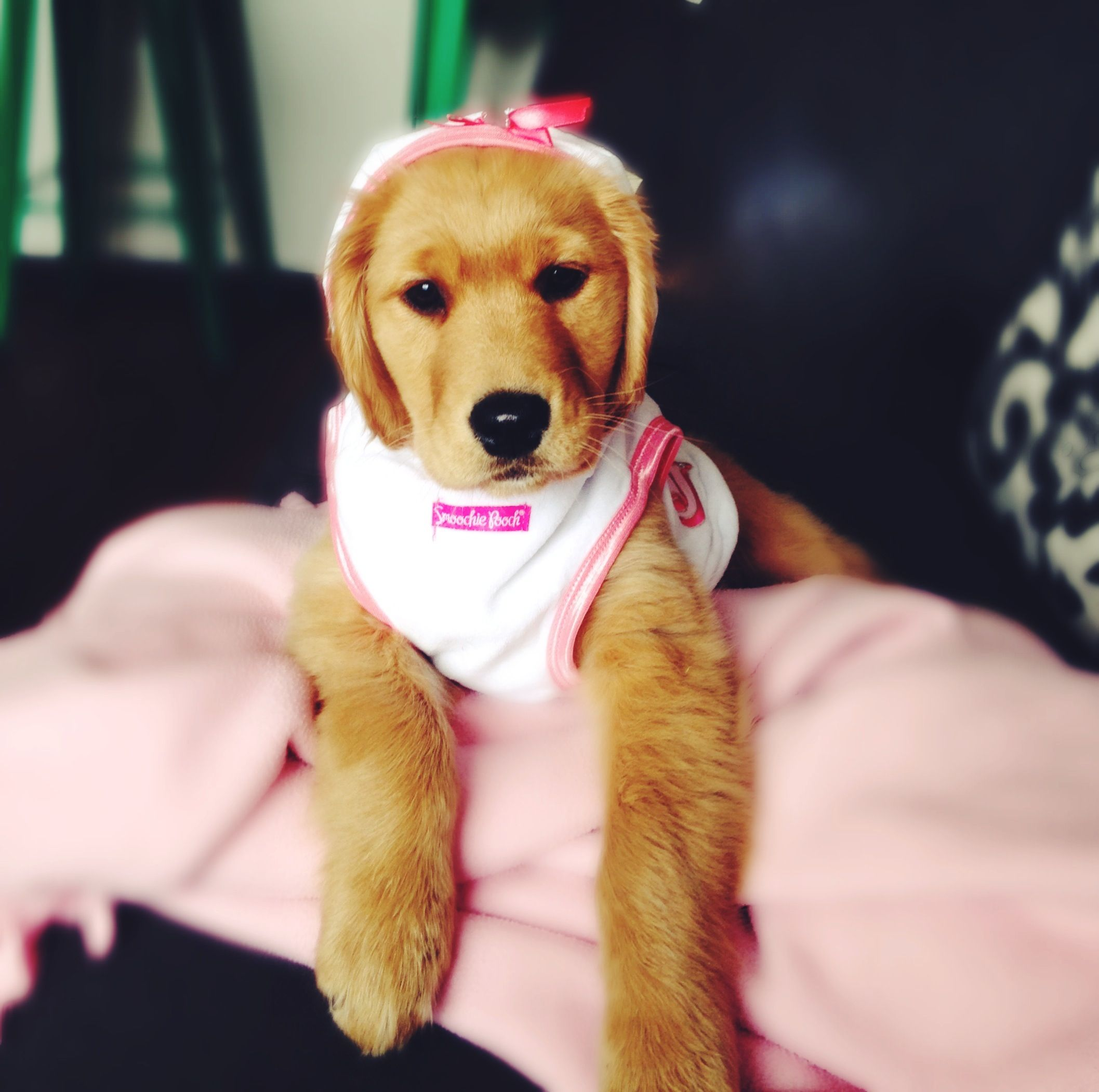 Golden Retriever Puppy Dress Up Time Retriever Puppy Golden