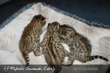 One week old F2 savannah kittens Savannah kitten, Serval