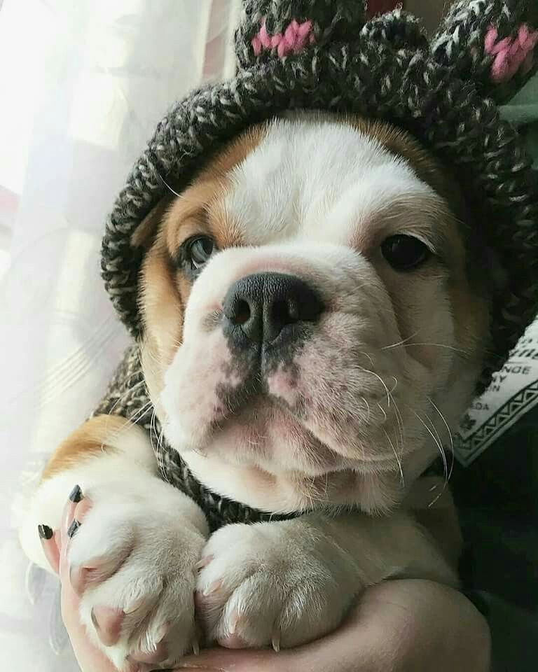 Bulldog Puppy With A Beanie And A Sweater Im Ready For Fall Too