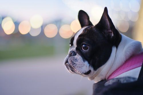100 French Bulldog Pictures Download Free Images On Unsplash