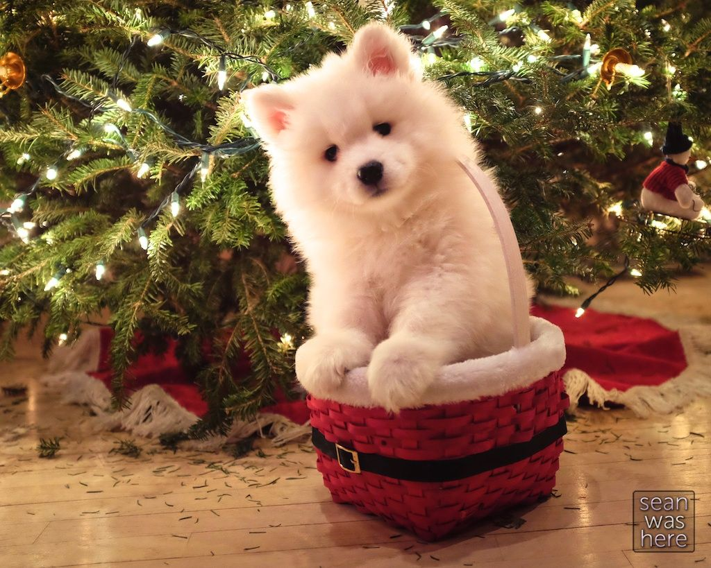 A Puppy For Christmas.What S More Photogenic Than A Puppy In A Basket In Front Of