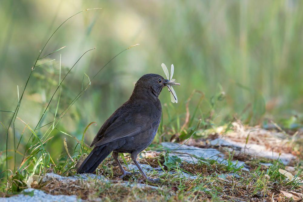 Die Amsel Turdus Merula Oder Schwarzdrossel Ist Eine Vogelart