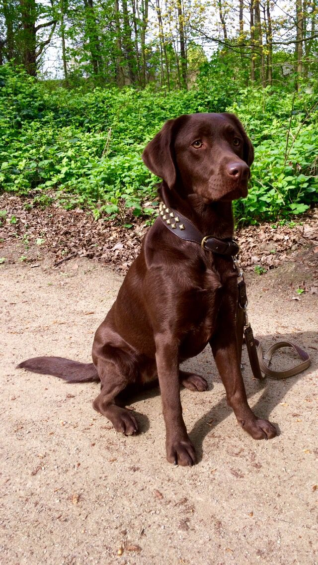 My Lab Labrador Dog Cute Animal Quotes Brown Dog