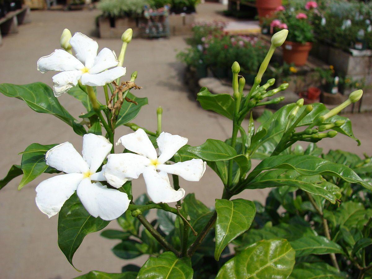 Tabernaemontana Divaricata Wikipedia Known In Pakistan As Chandhni Trees To Plant Common House Plants Flowering Trees