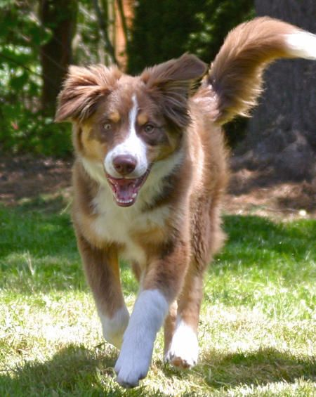Ziggy The Australian Shepherd Mix Puppy Breed Australian