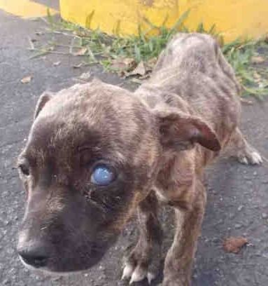 Rescued Lula A1750453 I Am A Female Brown Brindle American Bulldog Mix The Shelter Staff Think I Am About 13 Weeks Old I Was Found As A Stray And Think