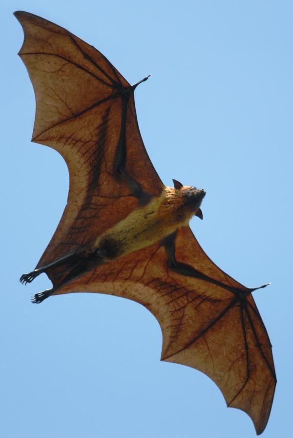 にかいどう レゴ機械生物図鑑 On Twitter コウモリの翼 野生動物 哺乳類
