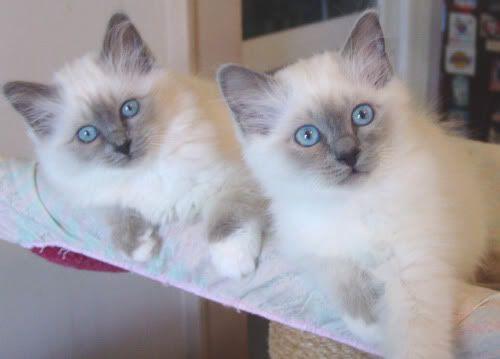Blue point birman kittens Birman kittens, All cat breeds