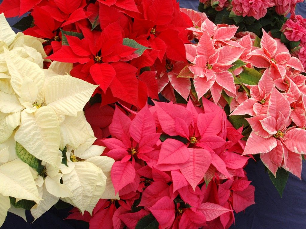 Christmas Flowers Christmas Flowers Poinsettia Flower Flowers