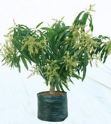 We are a standout organization dealing in offering Mango Grafted Plant  to our clients.
