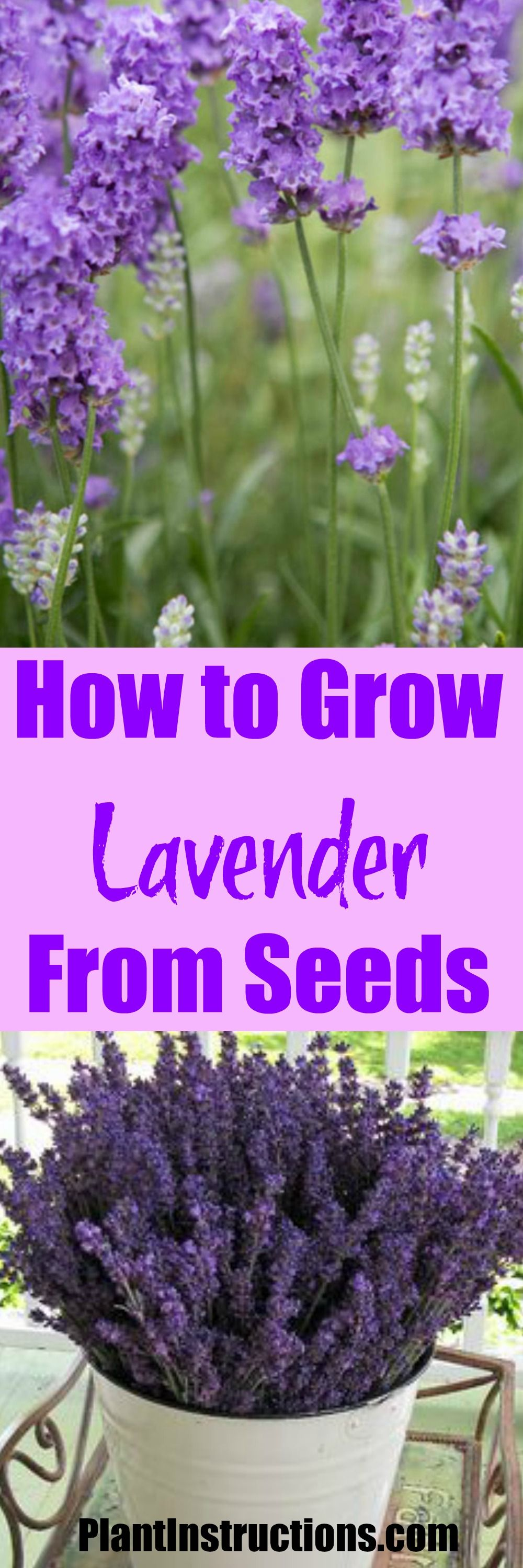 How to grow lavender from seed growing lavender