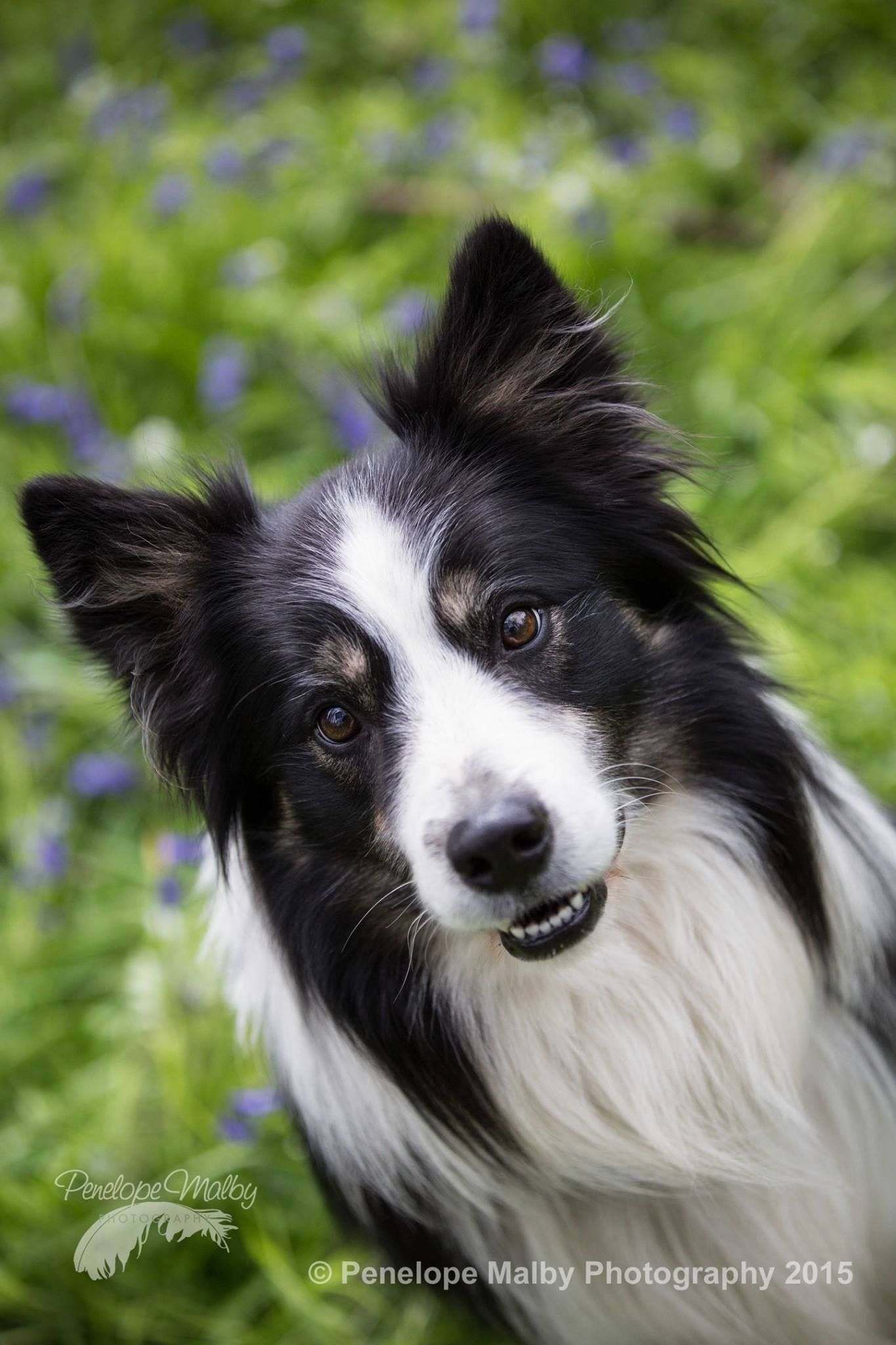 Beau Border Collie Bluebell Wood Pet Photographer Dog