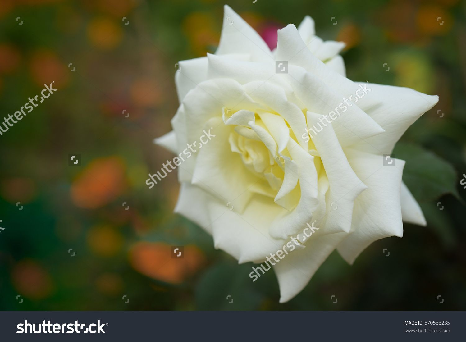 Beautiful White Rose In Full Bloom In The Flower Garden With A