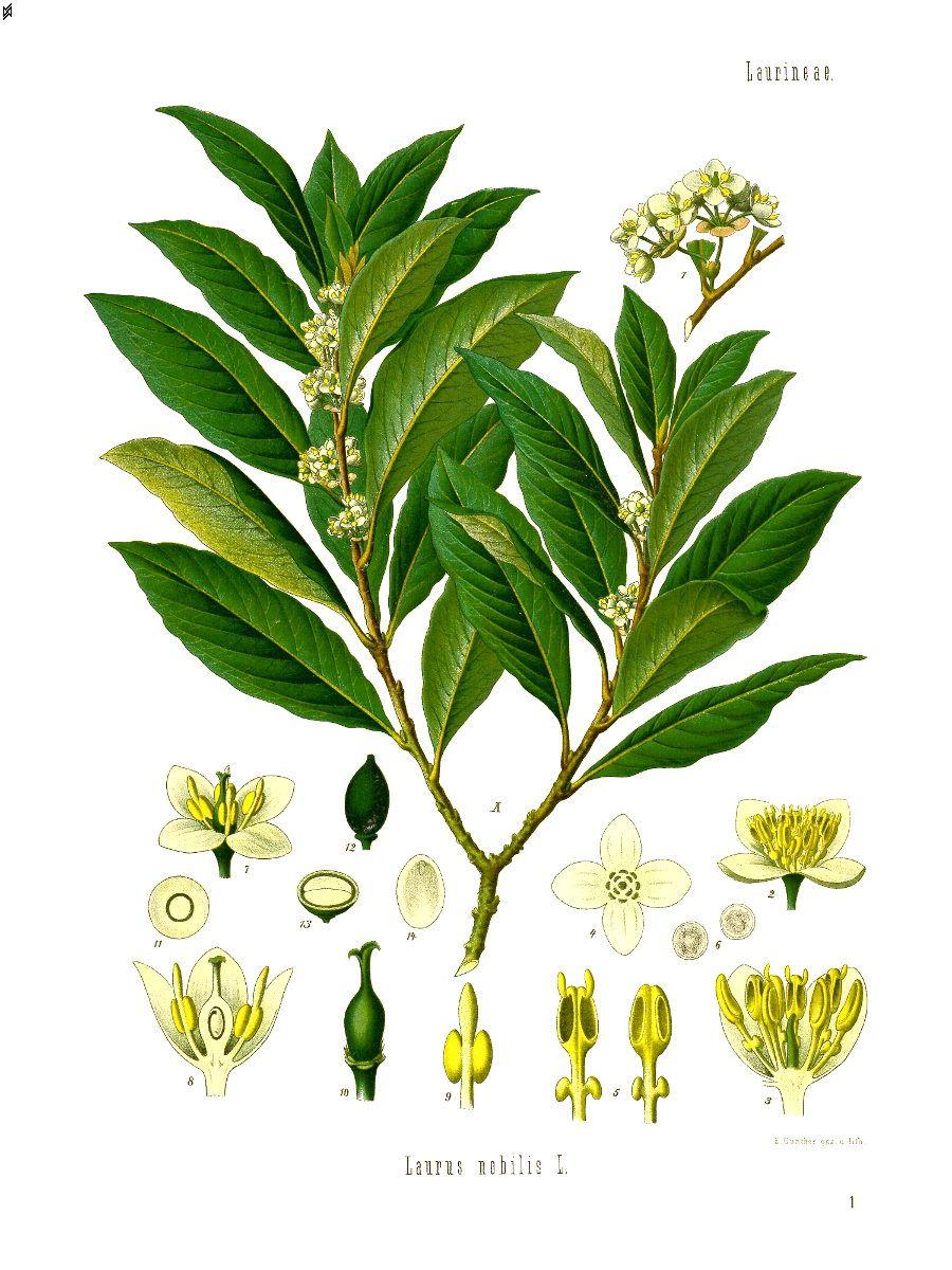"""Résultat de recherche d'images pour """"planche botanique laurus nobilis lauririer sauce"""""""