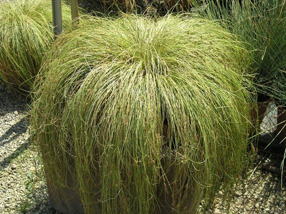 Carex comans u0027Frosted Curlsu0027 Grasses Pinterest Gardens - carex bronze reflection