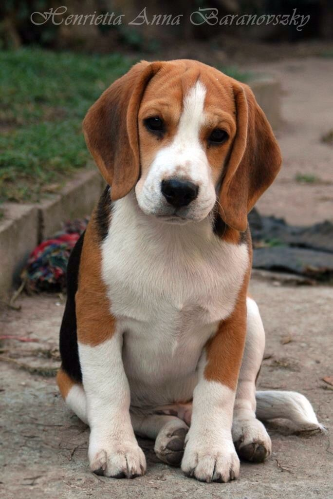 Pin By Joy Smalley On I Beagles Types Of Beagles