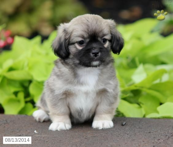 Pekingese Mix Puppy for Sale in Pennsylvania